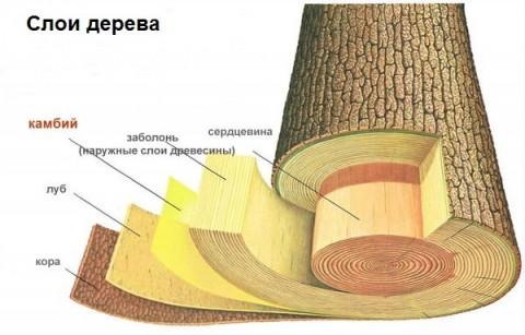 слои дерева
